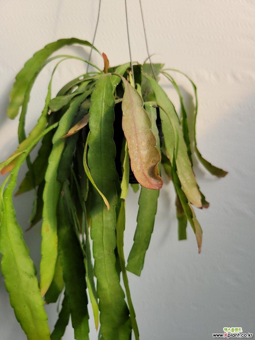 인기립살리스 루비 수입식물 행잉 50-70cm 125