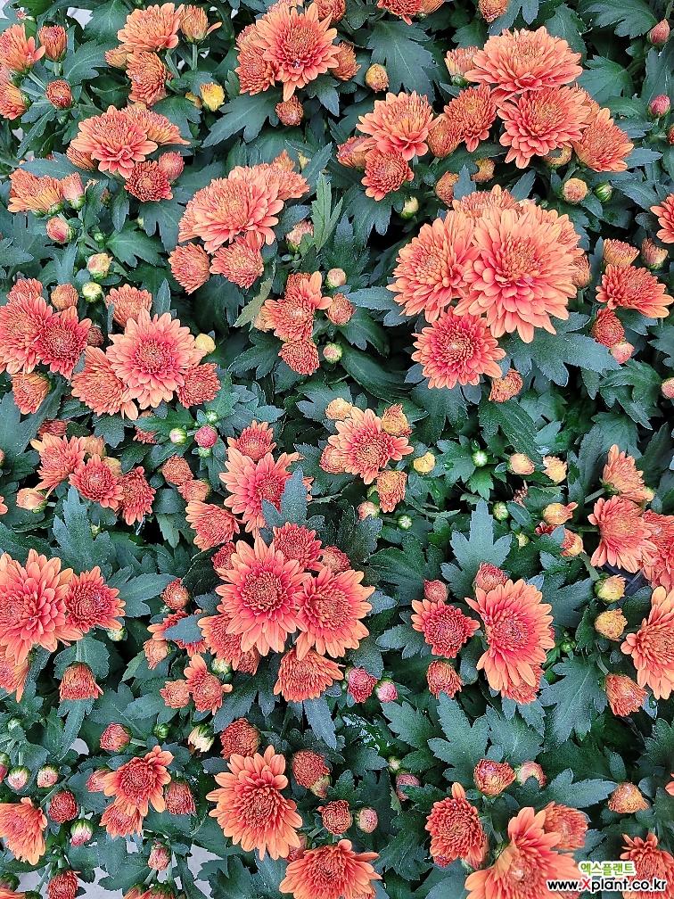[짧게잘라배송]9월 26일 입고 완전한 가을색 가을국화 국화 소국 야생화 노지월동 엑스플랜트 엑플