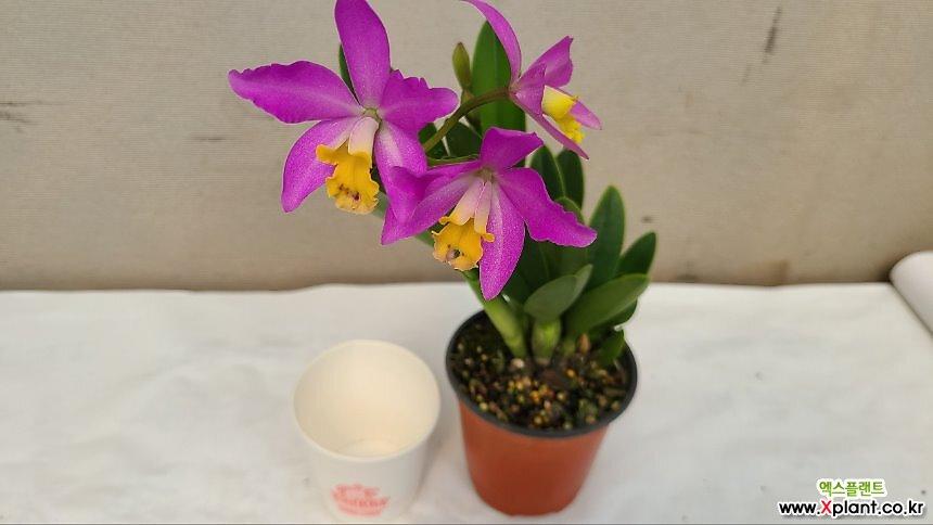 카틀레야 트리슈어.예쁜보라색핑크색.아주좋은향.향기좋은향.여성스럽고 귀여운형의 꽃.고급종.인기상품.색상환상.