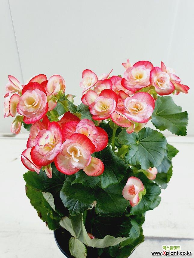 장미베고니아 분홍투톤