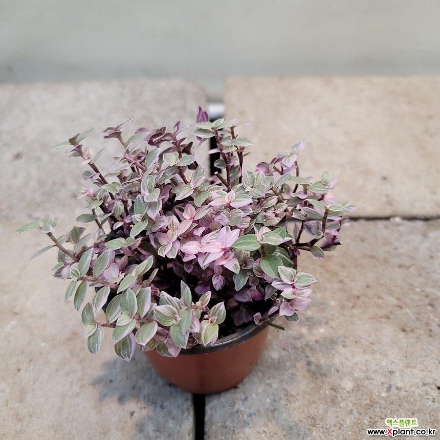 핑크달개비(재입고)