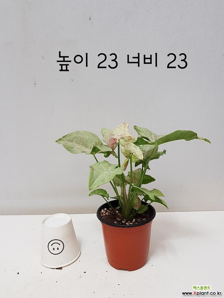 [풍성한] 밀크컨페티 싱고니움 8/동일품배송