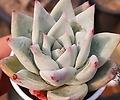 콜로라타(Echeveria colorata) 0409-R169