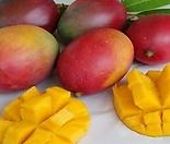 애플망고트리 킹레드(아이윈) 화분상품,자가수정 왜성 망고나무 외목수형,화분재배 최적화