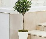 유럽산 올리브나무 외목수형 스탠다드 타입/토피어리 롤리팝 볼타입 참감람나무