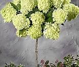 [특별사은품]패닉수국  라임라이트 목수국 외목수형 화분상품,한번 보면 반해서 패닉상태에 빠지는 꽃,패닉 수국 스탠다드 타입