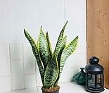 책상 테이블용 식물 산세베리아 로렌티 소형 공기정화식물