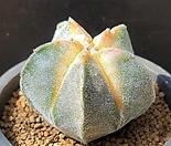 황엽귀갑란봉옥/난봉옥-824(실생. 단풍금)