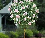 샤론의 장미 외목수형/샤론 평원에 핀 아름다운 꽃 무궁화/군자의 기상