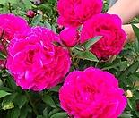 작약.특대품.예쁜진핑크빨강색.겹겹겹꽃.(꽃이환상입니다).월동짱.상태굿.고급종.인기상품.