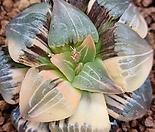 아트로푸스카금(사이즈 좋음 수입-뿌리무 )