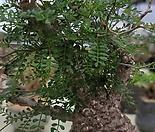 파키푸스(오퍼큐리카야) 수입씨앗 2 립