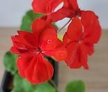 제라늄 빨강 (핑크다홍)