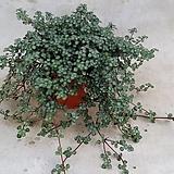 폼폼사랑초 .겹사랑초