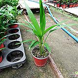 아레카야자나무-담배초미세먼지1급공기정화식물