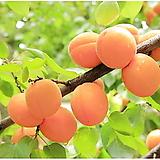 핫코트 품종 왕살구 묘목,살구나무 왕살구나무,유실수,과실수