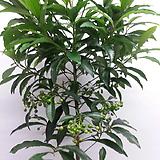 만냥금,관엽식물,신상입고,공기정화