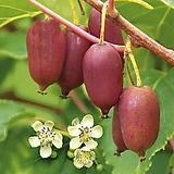 레드키위베리,껍질도 레드,과일속도 레드,키위 키위베리 레드 넝쿨 열매
