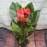 안스리움 안시리움|Anthurium andraeaeanum