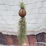 이오난사 코코넛 틸란드시아|Tillandsia