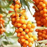 비타민나무 화분상품 대품♥암그루 수그루♥전세계가 주목하는 슈퍼과일|