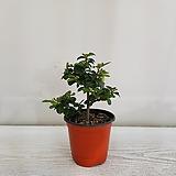 수련목/공기정화식물/반려식물/온누리 꽃농원