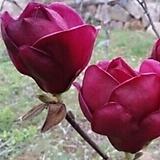 향기베고니아