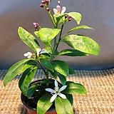 한목대황금레몬나무 ( 10센치) 꽃이 지고나면 열매가 맺어요  (새로입고)  아주 착한가격이에요|