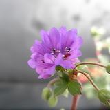 청화쥐손이(꽃대)