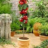 팅커벨 기둥사과 화분상품,왜성 미니사과,사과나무,미니 사과 애기사과|Echeveria Agavoides Tinkerbell