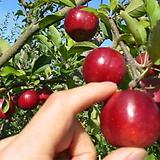 알프스오토메 미니사과 화분상품/분달이♥왜성사과♥오도메 오또메 사과나무 애기사과|