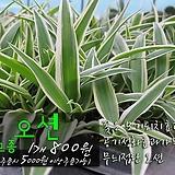 미세먼지제거 실내공기정화식물 오션 모종 800원(단품목 5000원 이상배송가능) 