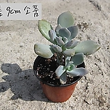 석연화 (石蓮花) 지름 9cm 소품 다육화분(단일품목 구매시 5천원 이상 배송가능) Pachyveria Pachyphytodies