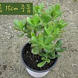염좌(염자 Crassula portulacea )지름 15cm 중품 다육화분 