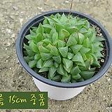수(Haworthia bayeri) 지름 15cm 중품 다육화분 