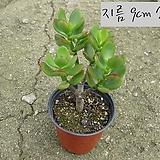 흑염좌(흑염자 Crassula portulacea ) 지름 9cm 소품 다육화분(단일품목 구매시 5천원 이상 배송가능) 
