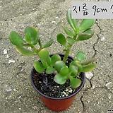 염좌(염자 Crassula portulacea ) 지름 9cm 소품 다육화분(단일품목 구매시 5천원 이상 배송가능) 