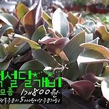백설달개비(털달개비 백설희) 다육모종 800원 (단품목 5000원 이상배송가능) 