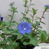 보라색 꽃 아메리칸 블루(3포트 한묶음)
