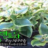 살멘토사(sarmentosa) 다육모종 2개 1400원 (단품목 5000원 이상배송가능 