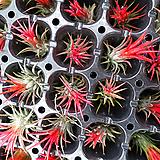 휴스톤( 수입식물) 미세먼지제거 식물이에요