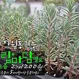 트립마담 옐로 ( Tripmadam sedum 노지월동 ) 다육모종 2개 1200원 (단품목 5000원 이상배송가능 