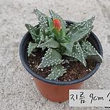 사해파 지름 9cm 소품 다육화분(단일품목 구매시 5천원 이상 배송가능) Faucaria tigrina