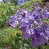 목초롱(호주 후쿠시아)