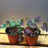 가넷사랑초(핑크색꽃이 피는아이에요)|