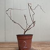 방울기리시마철쭉