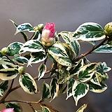 무늬월의취설(한목대)짙한핑크색 꽃이 피는아이에요|