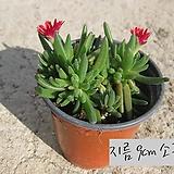 미니송엽국 빨강(Lampranthus spectabilis ) 지름 9cm 소품 다육화분 (단일품목 구매시 5천원 이상 배송가능) 