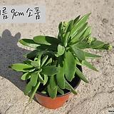 체리피쉬(Crassula rattrayii) 지름 9cm 소품 다육화분 (단일품목 구매시 5천원 이상 배송가능) 