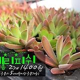 체리피쉬(Crassula rattrayii) 다육모종 2개 1400원 (단품목 5000원 이상배송가능) 